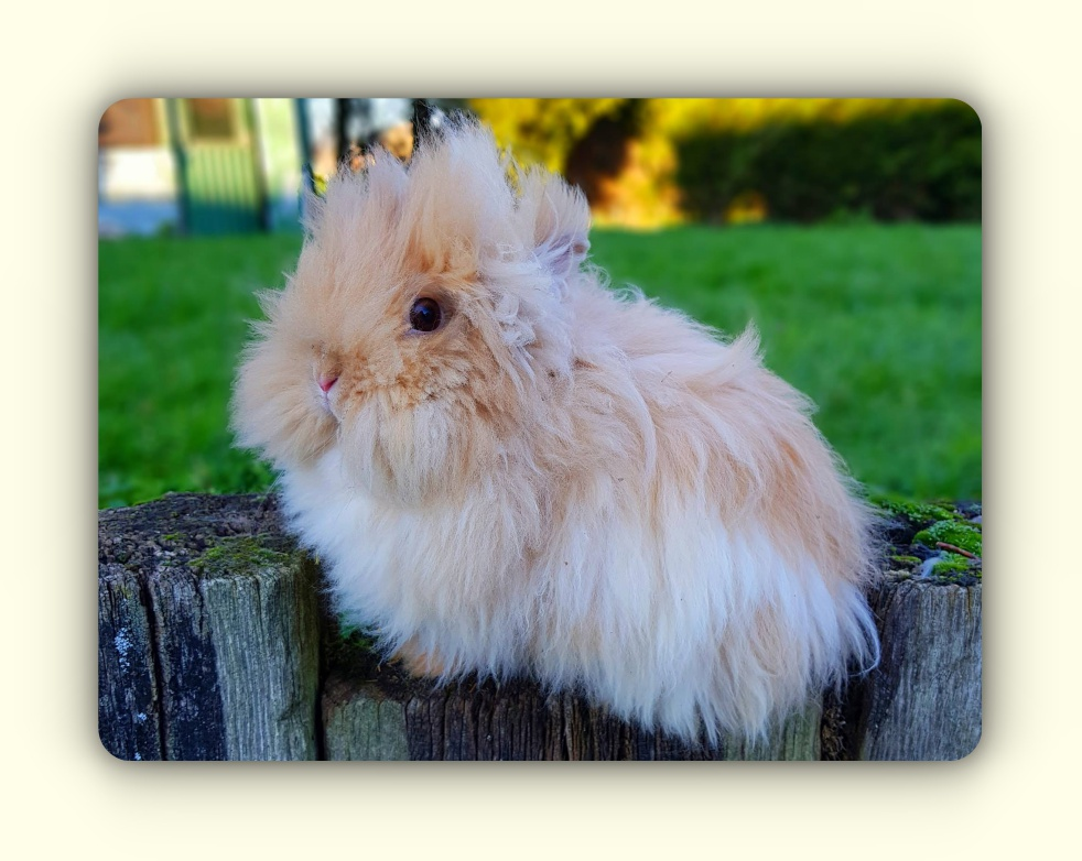 elevage de lapin angora nain teddy