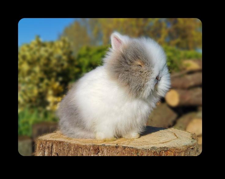lapins nains angoras oreilles blanches yeux bleus