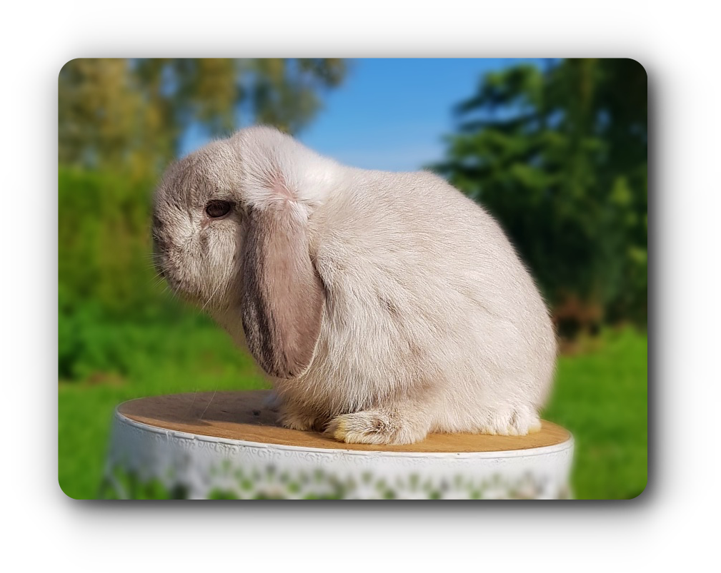elevage de lapins nains beliers minilop chinchilla feh
