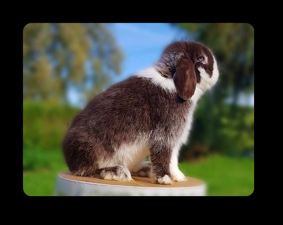 elevage de lapins nains béliers minilop yeux bleus