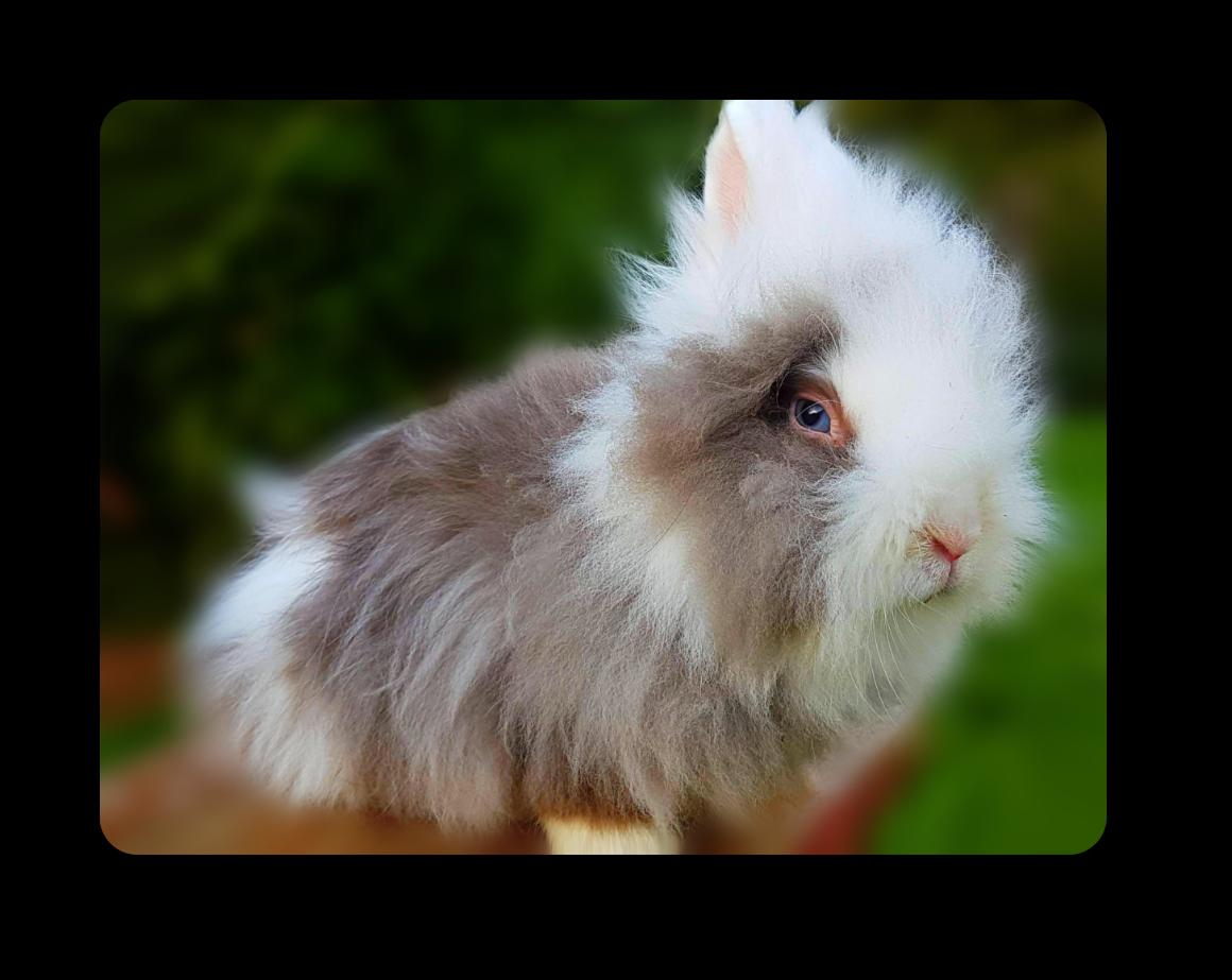 lapin angora nain teddy havane oreilles blanches