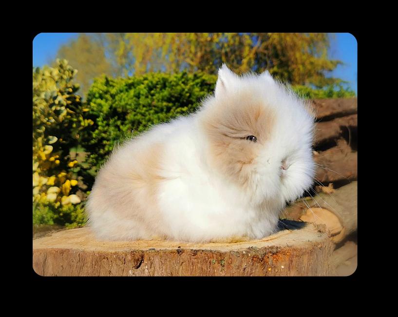 élevage de lapins nains angoras aux oreilles blanches