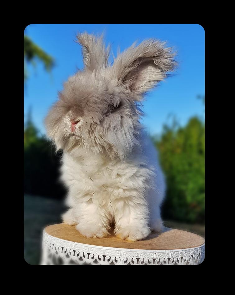 elevage de lapins angoras anglais, feh à jarre blanc couleur rare
