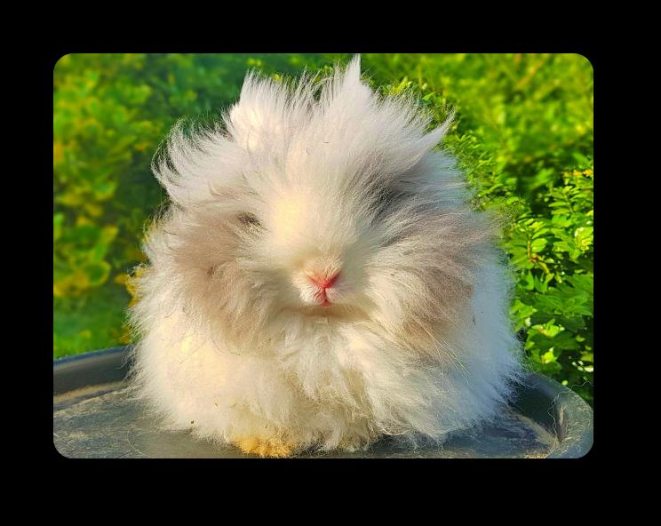 elevage de lapins angoras nains à Lille