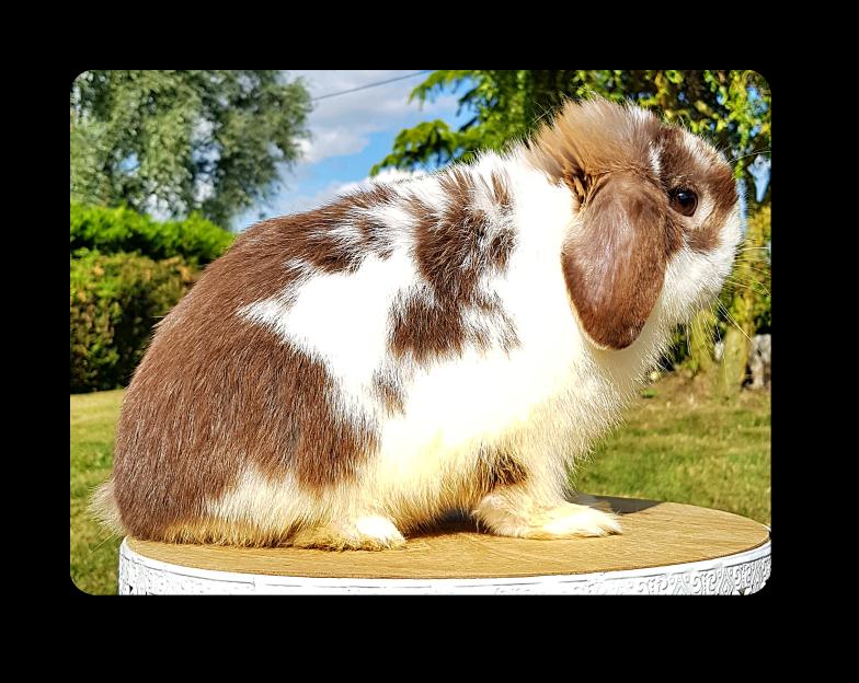 elevage de lapins béliers minilop broken havane