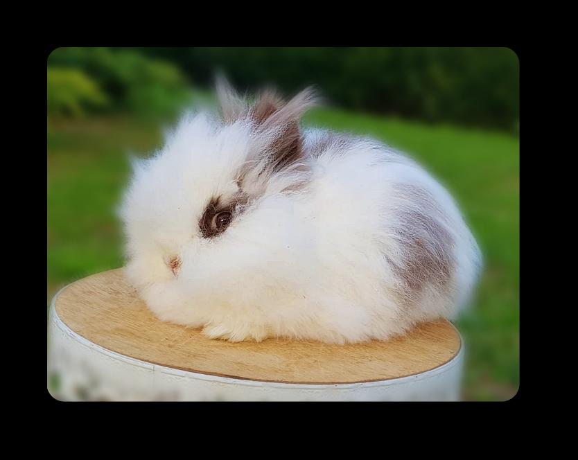 elevage famiial de lapins nains teddys