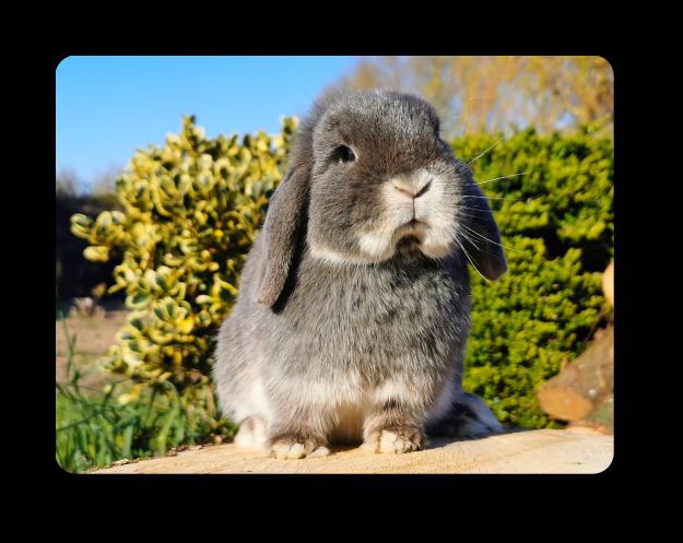 élevage de lapin bélier nain minilop