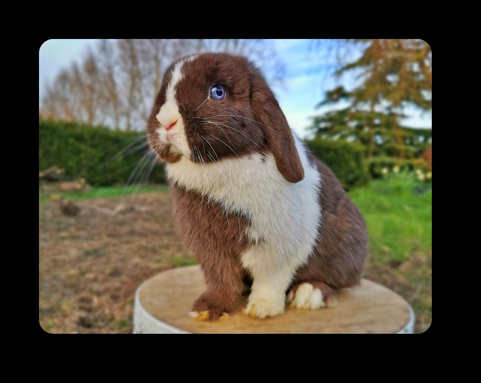 élevage de lapin bélier minilop miniature